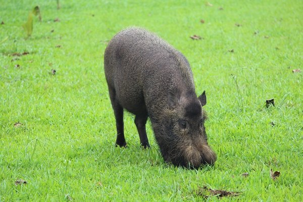Brodate świnie podbiły nasze serca.