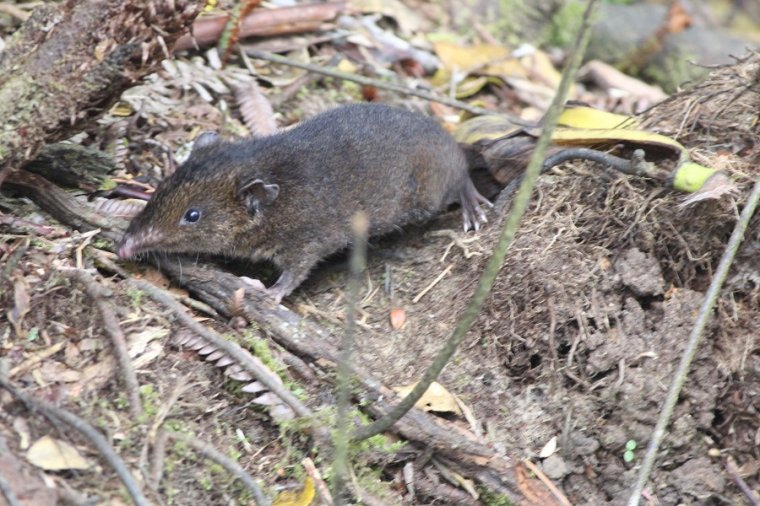 Lesser Gymnure (Hylomys suillus) -  jeż bez kolców.