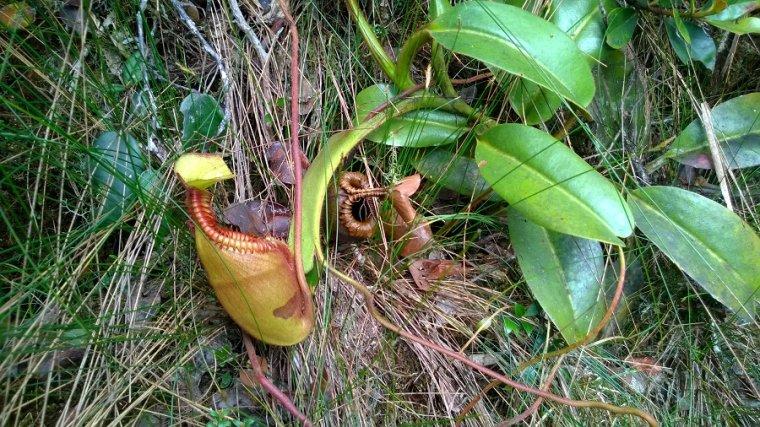 Choć już, na Borneo przyzwyczailiśmy my się do widoku dzbaneczników, to nie potrafiliśmy przejść obojętnie koło tych kwiatów.