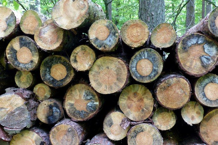 Według Lasów Państwowych zarzuty NIK nie mają podstaw