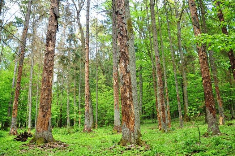 Gradacja kornika drukarza w lasach Puszczy Białowieskiej
