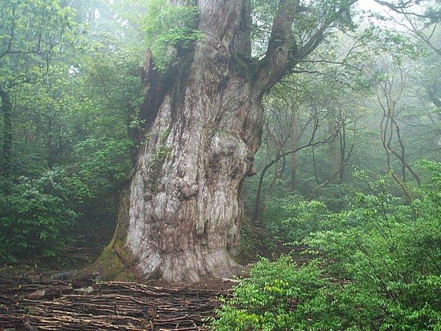 Cedr Jomon-sugi - najstarsze drzewo w Japonii