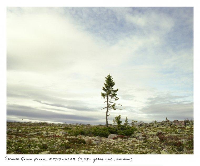 Old Tjikko na północy Szwecji