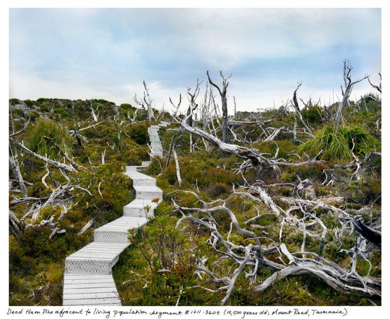 Tasmańska kolonia Huon Pine