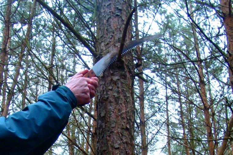 Podkrzesywanie drzew zastępuje naturalne oczyszczanie się pni z gałęzi, przyspiesza zarastanie sęków, przez co pozwala poprawić jakość przyszłego surowca