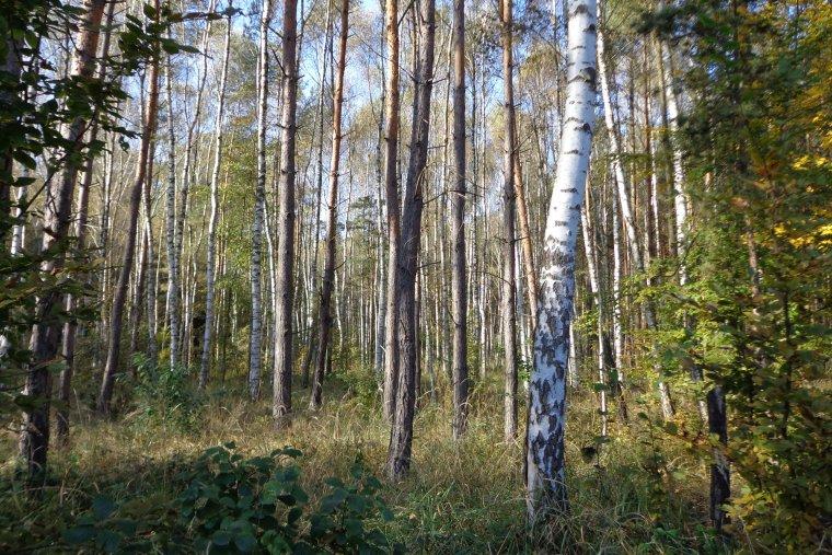 PiS da Lasom Państwowym prawo pierwokupu prywatnych lasów
