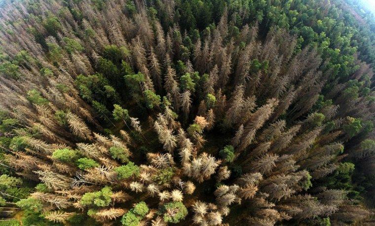 Lasy Puszczy Białowieskiej zaatakowane przez kornika drukarza