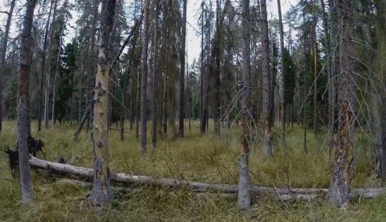Świerki w Puszczy Białowieskiej zasiedlone przez kornika