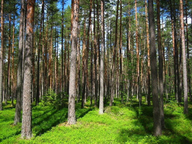 Lasy państwowe w Finlandii stanowią 25% terenów leśnych