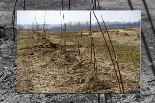 Roczne drzewka paulowni Shan Tong na plantacji w Pturku