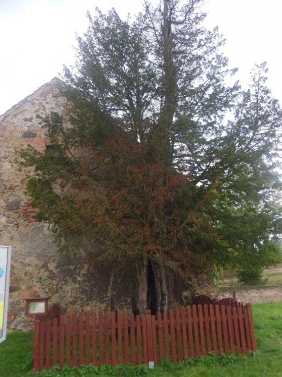 Najstarsze drzewo w Polsce usycha