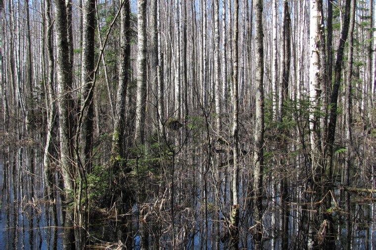Około 30% powierzchni leśnej Estonii to lasy podmokłe np. olsy