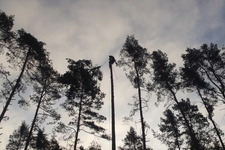 Arborystyczna technika usuwania nasienników Sosny zwyczajnej - Wystawa fotograficzna