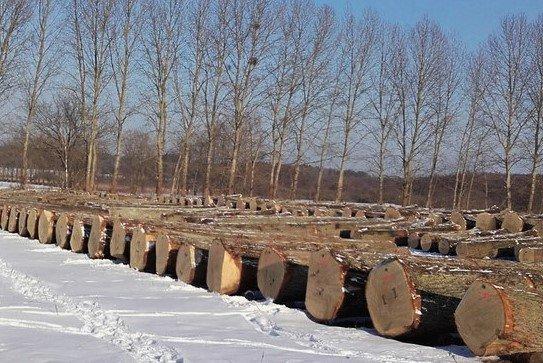 Surowiec drzewny przygotowany do oględzin na jednym z placów