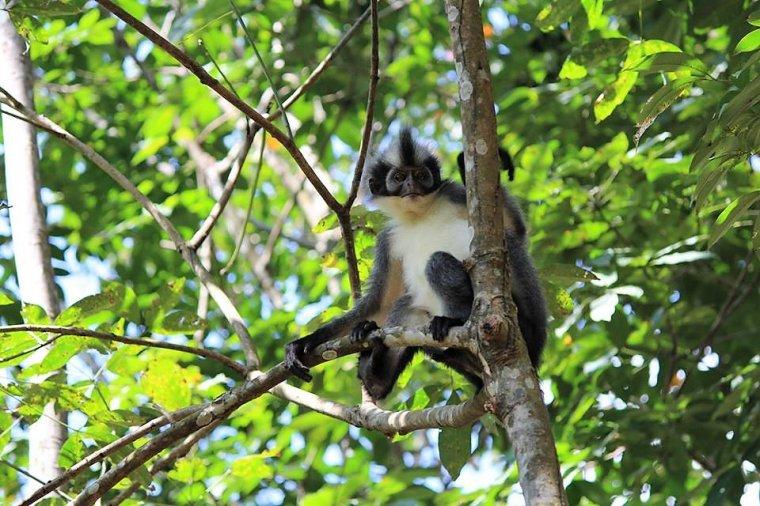 Langur posiwiały (Presbytis thomasi) na drzewie kauczukowca