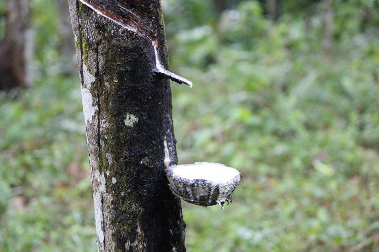 Lepki, mleczny sok, który wycieka z nacięcia na pniu kauczukowca nazywany jest lateksem