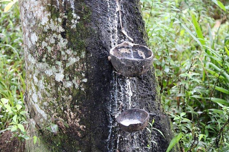 Lateks zbierany jest do pojemników wykonanych ze skorupki kokosa
