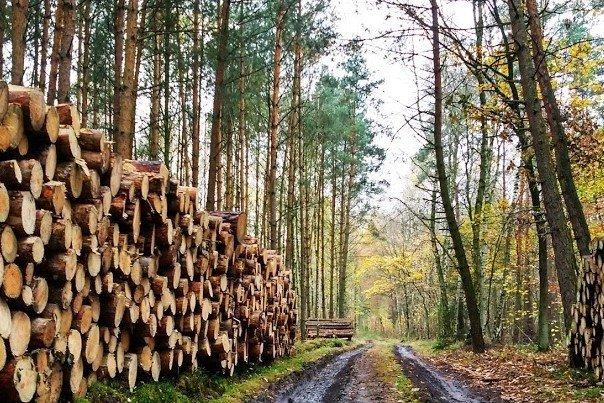 44 mln m3 drewna mogą pozyskać w przyszłym roku Lasy Państwowe