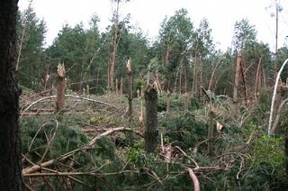 Połamane drzewa na terenie Nadleśnictwa Siedlce