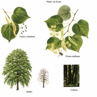 Drzewo lipowe i jego kwiatostan