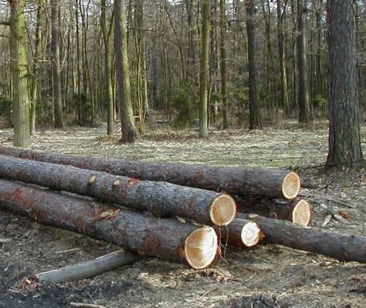 Czy do Polski trafi więcej białoruskiego drewna?