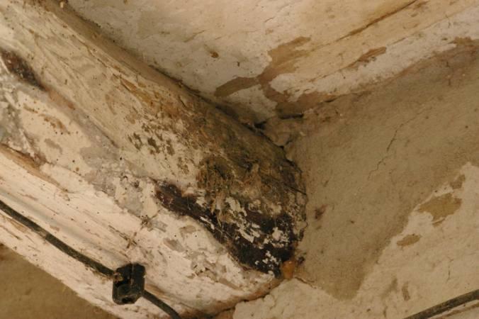 Belki stropowe porażone przez grzybnię