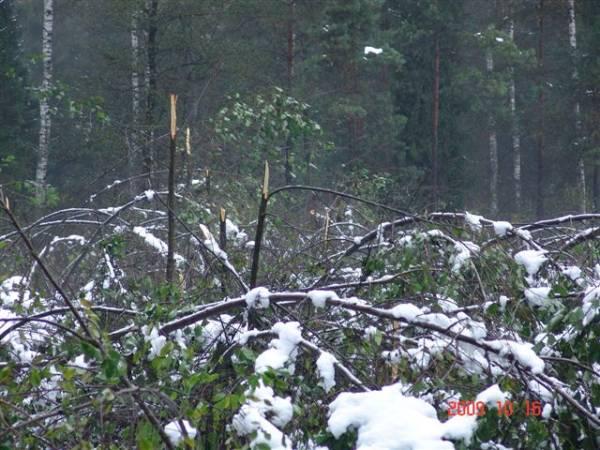 RDLP Krosno: Duże szkody od okiści w lasach