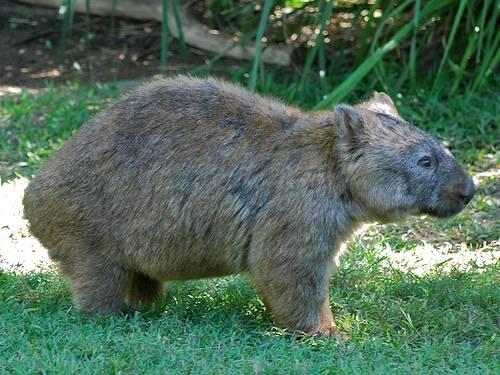 Wombat tasmański - Vombatus ursinus
