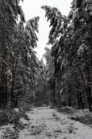 Pięknie ale niebezpiecznie - gałęzie drzew łamią się pod ciężarem śniegu i lodu