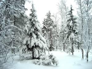 Las w okolicach St. Petersburga