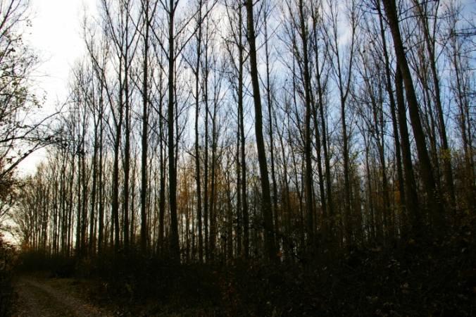 Czy wkrótce pojawią się plantacje drzew GMO?