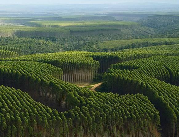 Plantacja eukaliptusa w Ameryce Południowej