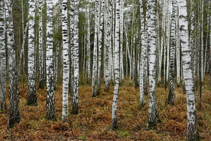 Las brzozowy na Syberii