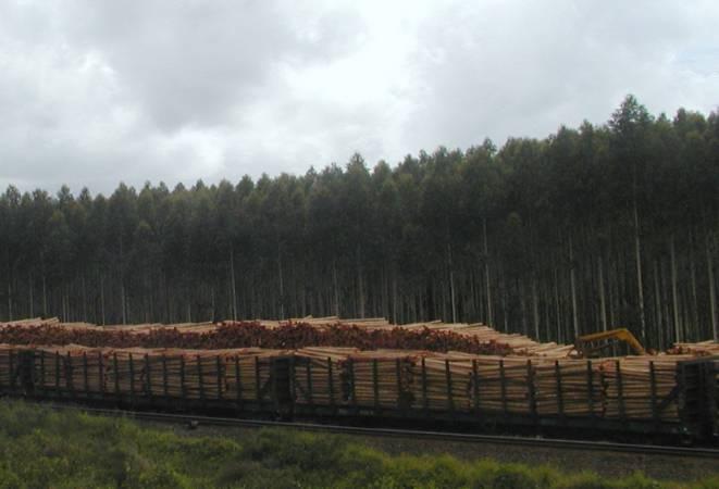 Plantacja eukaliptusa