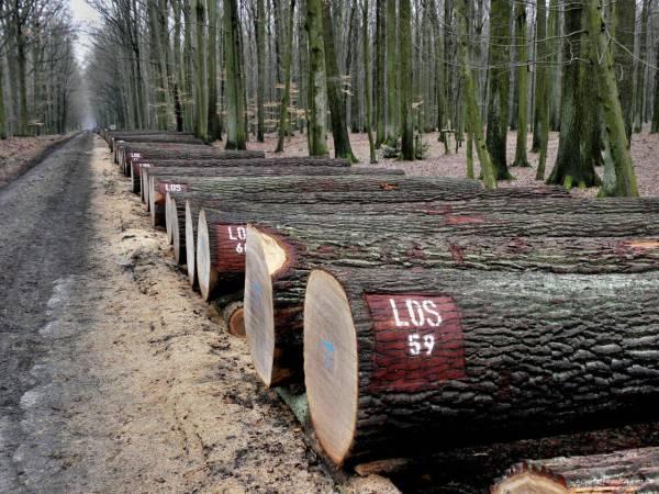 Drewno dębowe przygotowane do krotoszyńskiej aukcji
