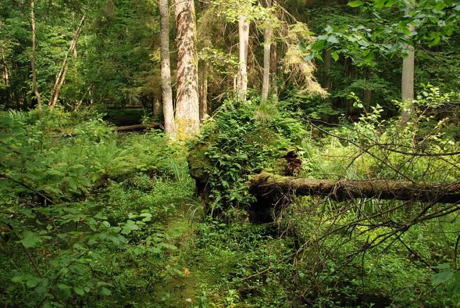 Białowieski Park Narodowy - rezerwat ścisły