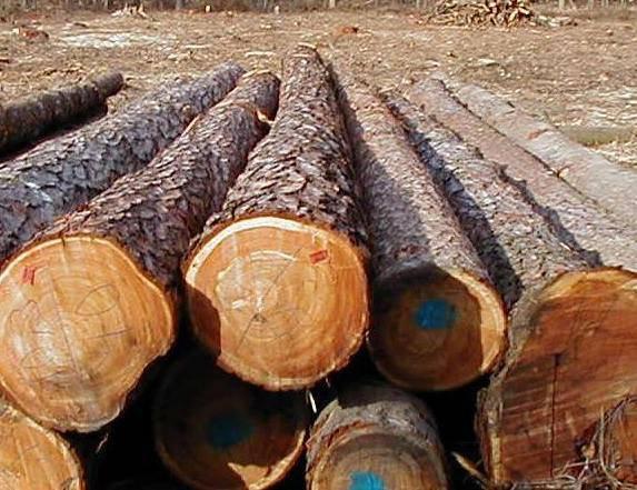 Zasady sprzedaży surowca drzewnego od lat są zmorą polskich tartaków