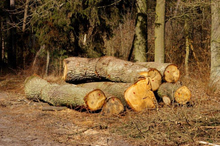Czy zasady sprzedaży surowca drzewnego zostaną zapisane w Ustawie o lasach?