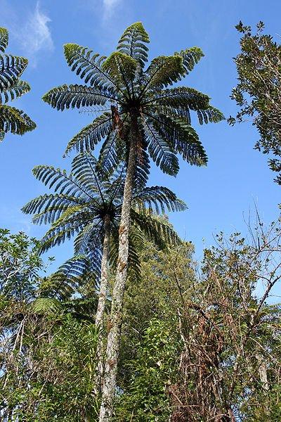 Paprocie drzewiaste w polskich lasach raczej nie zagoszczą