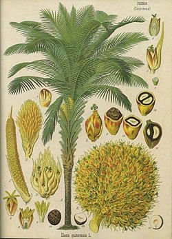 Palma olejowa zwana olejowcem gwinejskim pochodzi z Afryki.