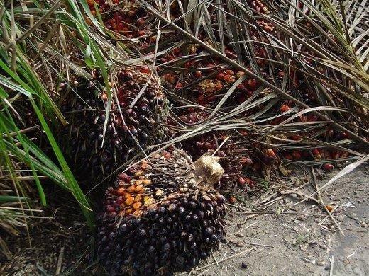 Owoce olejowca gwinejskiego