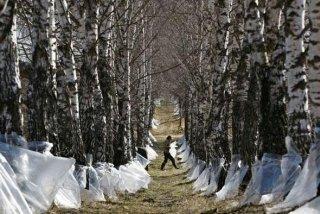 Zbieranie soku brzozowego jest narodową tradycją Białorusinów