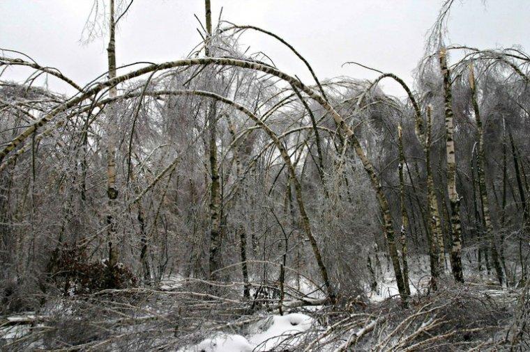 Klęska gołoledzi i okiści w lasach Podkarpacia