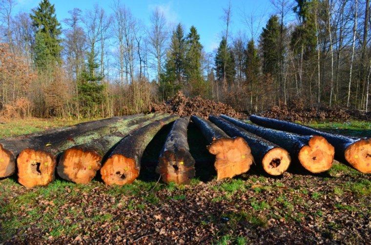 Na aukcji wystawiono drewno olchowe przeznaczone do produkcji sklejki i okleiny