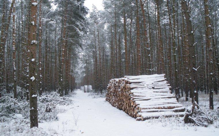Podstawowym gatunkiem na terenie RDLP Zielona Góra jest sosna.