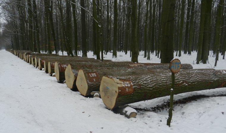 Leśnicy sprzedali cenne drewno na aukcjach