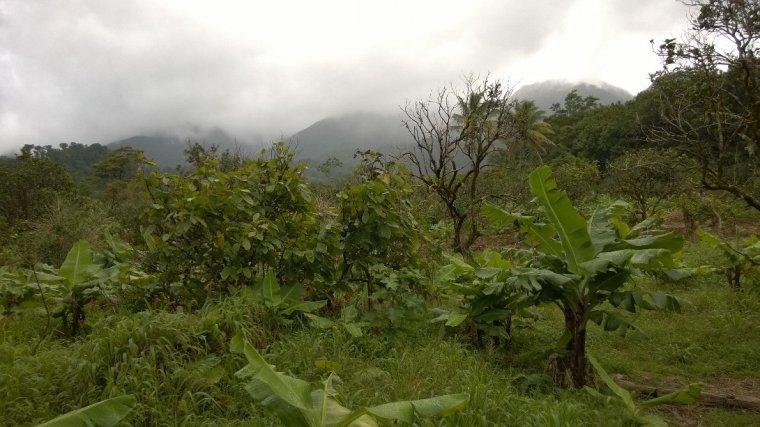 Stare plantacja
