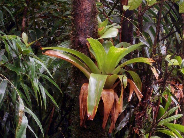 Okazały epifit z rodziny ananasowatych (<i>Bromeliaceae</i>)