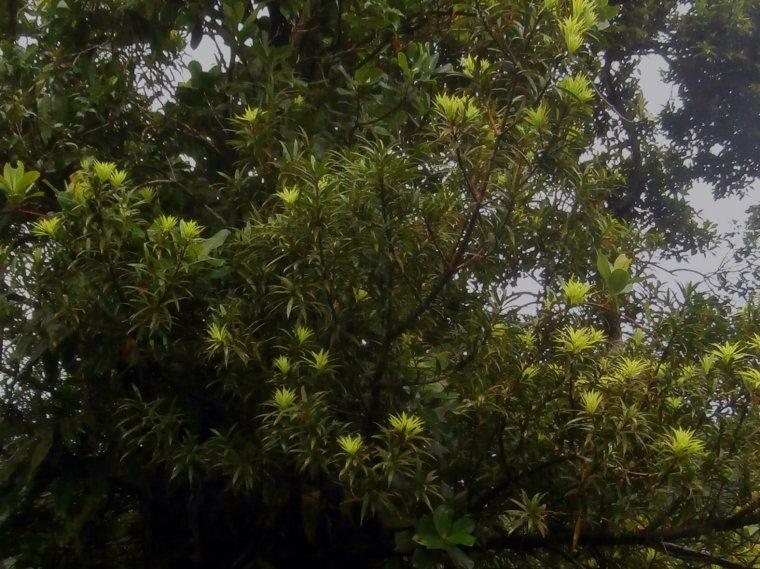 Podocarpus coriaceus - jedyny rodzimy przedstawiciel nagozalążkowych na Dominice