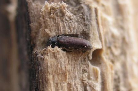 Co zjada nasze drewno?
